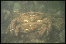 634027 Velvet Swimming Crabs Liocarcinus Puber UK A4 Photo Print