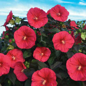 HIBISCUS 'MARS MADNESS' - HARDY HIBISCUS -STARTER PLANT -- APPROX 6-8 INCH