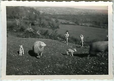 Vintage old photo-snapshot-animal sheep lamb kid sheep-field