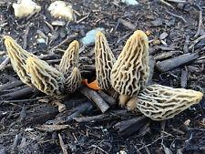 25 g Fresh WHITE MOREL Morchella deliciosa Mushroom Spawn Spores Seeds Mycelium