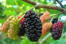 10 Black Mulberry Tree Cuts - Fruit Bearing Indoor/Outdoor Tree - Fresh Cuttings