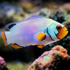 Platinum Clownfish Live Saltwater Aquarium Fish
