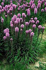 Liatris spicata Rosy Purple (GayFeather)  x 50 seeds. Perennial Flower.