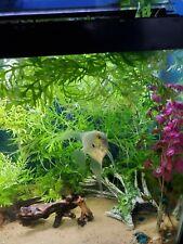 Water Wisteria, Hygrophila difformis, Live Aquarium/Aquatic Plant, Planted Tank