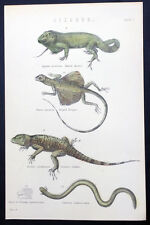 1850 Mackenzie Antique Print of 4 x Lizards - Spined Agama; Striped Dragon......