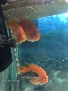 parrot cichlid Live Fish Adul