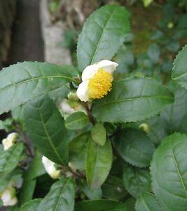 Tea Plant (Camellia sinensis), 5 seeds