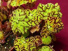 "Begonia Plant Vivaldi 4"" Pot Rhizomatous Terrarium"