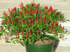 20 Thai organic bird's eye chili pepper seeds Hot Pepper Seed, Non-Gmo