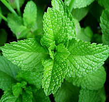 30 Lemon Balm Seeds Mentha Citrata Lemon Mint Herbs Organic