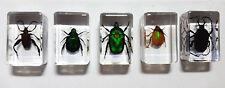 Echte Käfer, Sammler-Set Präparate in Kunstharz - keine Mini Biester (T-SET-003)