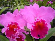 T-4986 Blc. Mem. Grant Eichler 'Lennette' Hcc/Aos (community pot-20 plants)