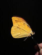 Entomologie Papillon Butterfly Insecte Superbe Hebomoia leucippe leucippe A1!!
