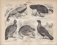 Stich Hühnervögel Silberfasan Rebhuhn Haselhuhn Moorschneehuhn 1890 Original
