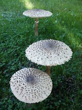 Bio Riesenschirmling Parasol, fertig beimpfte Gartenkultur, Pilzzucht, Pilzbeet