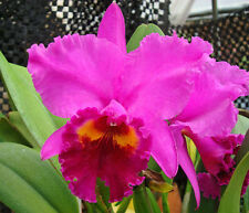 """ORCHID CATTLEYA OKARCHEE LC """"Dark Thunder"""" Large Blooming size pseudobulbs,"""