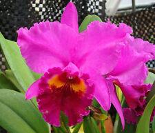"ORCHID CATTLEYA OKARCHEE LC ""Dark Thunder"" Blooming size pseudobulbs,"