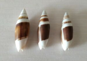 COLLECTION COQUILLAGES : SWAINSONIA CASTA X 3