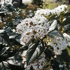 VIBURNUM tinus Purpureum-Laurustinus Pupureum Plant in 9 cm pot