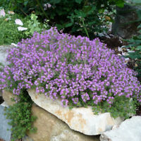 20pcs Creeping Thyme (Thymus Serpyllum) edible spices, cold potted vanilla seeds
