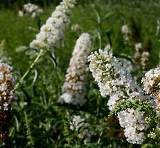 Schmetterlingsstrauch Sommerflieder Buddleja davidii 'White Bouquet' 60 - 80 cm