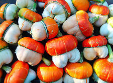 Gourd Ornamental - MINI RED TURKISH TURBAN - Cucurbita pepo - 5 seeds -