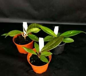 Hoya pubicalyx `Royal Hawaiin Purple´