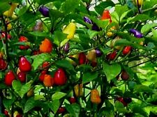 2 PACKS of Chinese 5 Color Pepper Seeds 5 COLORS ON THE PLANT AT THE SAME TIME!