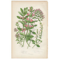 Anne Pratt antique 1st ed 1873 botanical print, Pl 160 Pepper Mint