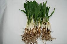 Bärlauch kräftige mehrjährige Pflanzen 25, 35, 50 Stück TOP Qualität