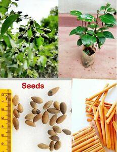 12+ Ceylon Cinnamon Seeds ( Cinnamomum Zeylanicum = Verum ) True Cinnamon Seed
