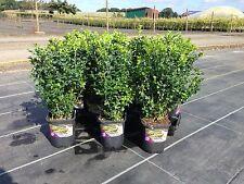 Buchsbaum, Buxus sempervirens , Hoher Buchsbaum, Bestseller
