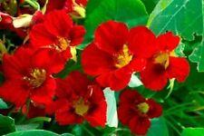 25 Dwarf Red Empress Nasturtium Tropaeolum Nanum Hummingbird Flower Seeds + Gift