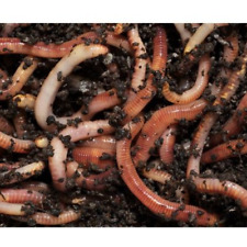 More details for 250g - tiger worms for wormery