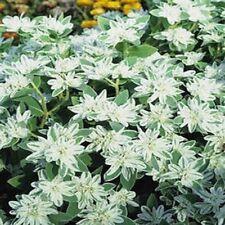 Snow on the Mountain- Euphorbia Marginata- 25 seeds- BOGO 50% off SALE