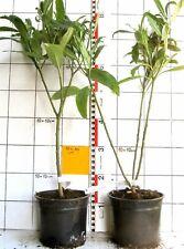 Edgeworthia chrysantha  - jap. Papierbusch,  seltenes Liebhaber-Gehölz   -rare -