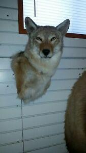 COYOTE SHOULDER MOUNT, taxidermy, deer, elk, antlers, small animals