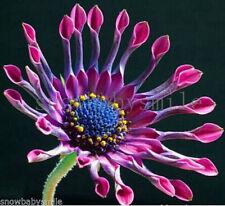 700 Dimorphotheca sinuata Seeds African Daisy Flower Mixed Color Heirloomr Fresh