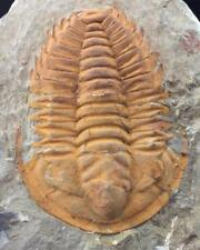 PERFECT HAMATOLENUS TRILOBITE FOSSIL FROM MOROCCO (S6)