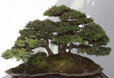 European Spruce Picea abies  outdoor bonsai tree  seeds winterhardy