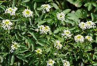 2000 Samen Nasturtium officinale, Echte Brunnenkresse