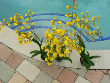 Orchid Oncidium Dancing Lady in double spike bloom tropical plant