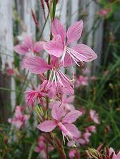 Gaura lindheimeri 'Pink'