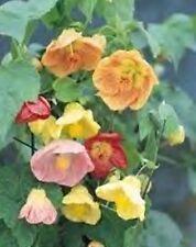 Abutilon hybridum maximum seeds - Exotic looking, colourful shrub - 25 seeds