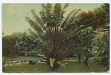Travelers Tree Garden of Eden Palm Beach Florida Postcard