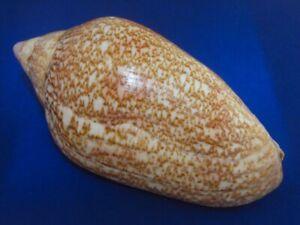 Voluta Amoria exoptanda 02