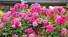 Climbing Rose, Thornless Deep Pink Scented Roses Bare Root 'Zephirine Drouhin'