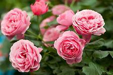 OLIO essenziale Rose Otto 5ml