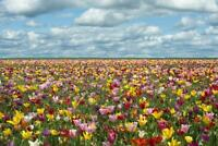 Tulip Fields in Oregon Photo Art Print Poster 24x36 inch