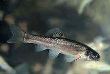 55+ Live Feeder Fish Black Tuffies/Fathead Minnow (FREE 2-Day S) GUARANTEE ALIVE